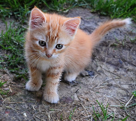 Picture of cute orange and white kitten siting outdoors.